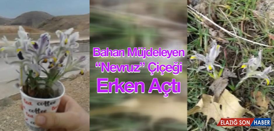 """Baharın Müjdecisi """"Nevruz"""" Çiçeği Şubat Ayında Açtı"""
