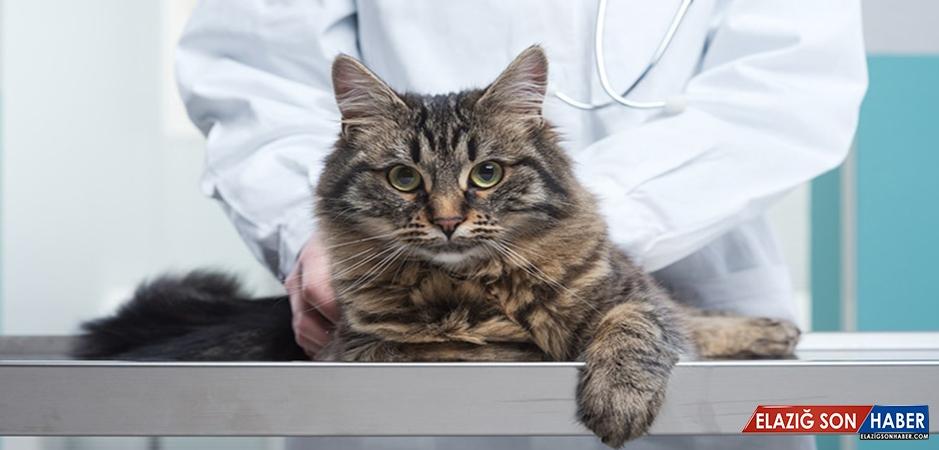 Kedilerin En Ölümcül Hastalığı: Fıv