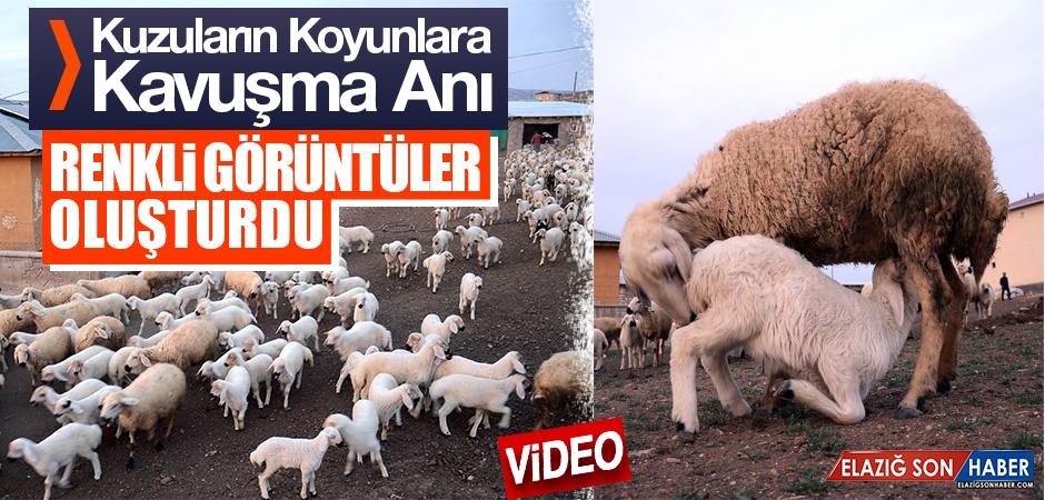 Kuzuların Koyunlara Kavuşma Anı Renkli Görüntüler Oluşturdu