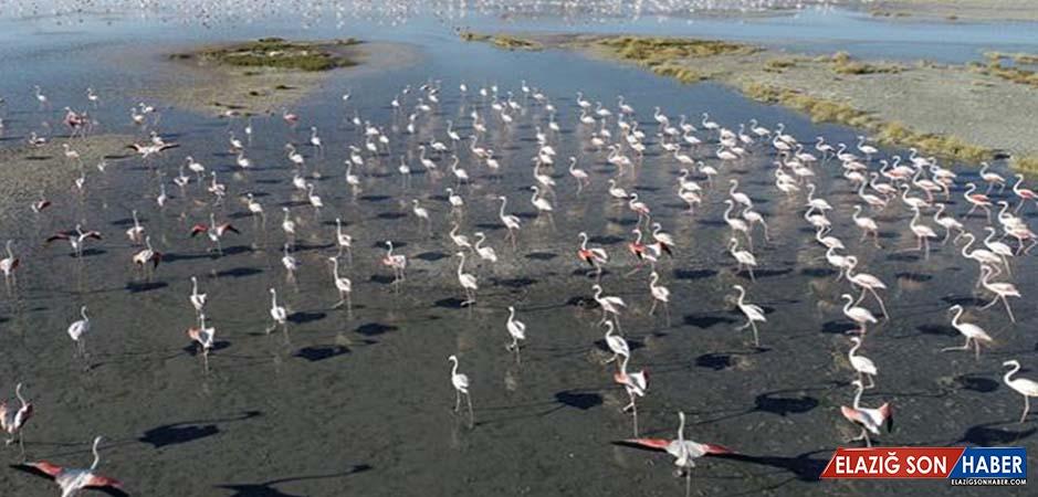 Tuz Gölü Flamingo Yavrularına Ev Sahipliği Yapıyor