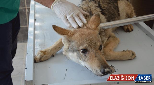 Aç kalan iki kurt yavrusu tedavi altına alındı