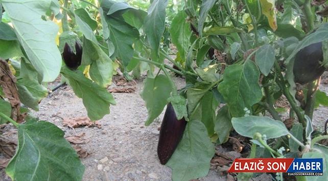 Afyonkarahisar'da asırlık tohumla patlıcan üretimi yapılıyor