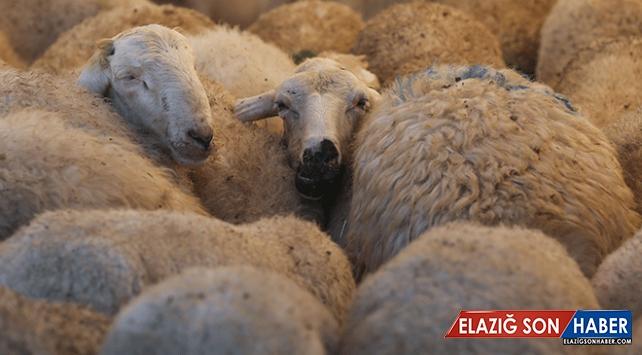 Bingöl'de genç çiftçilere 612 koyun dağıtıldı