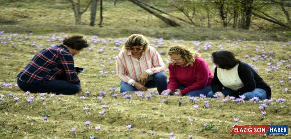 Safranbolu'nun Mucize Bitkisi Safran Üreticisinin Yüzünü Güldürdü! Kilosu 30 Bin Liradan Satılıyor