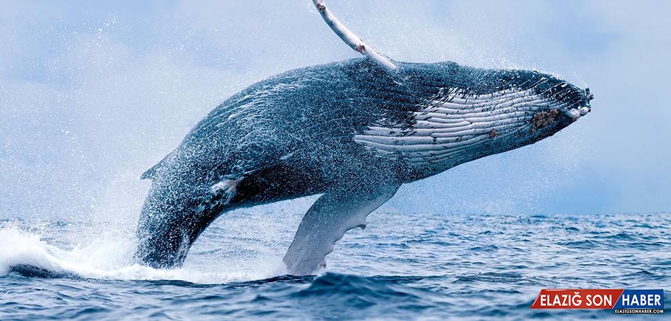 Bilim İnsanları, Balinaların Uzaydan Dahi Görülebildiğini Ortaya Çıkardılar