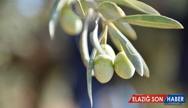 Şehit kaymakamın dünyaya tanıtmak istediği zeytinler filizlendi