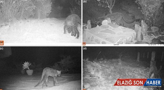 Afrika'da 1 asır sonra siyah leopar görüldü