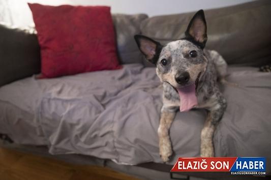 Köpeklerin genetik mirasları araştırılıyor