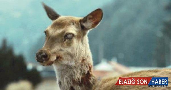 Zombi geyikler tehlike saçıyor