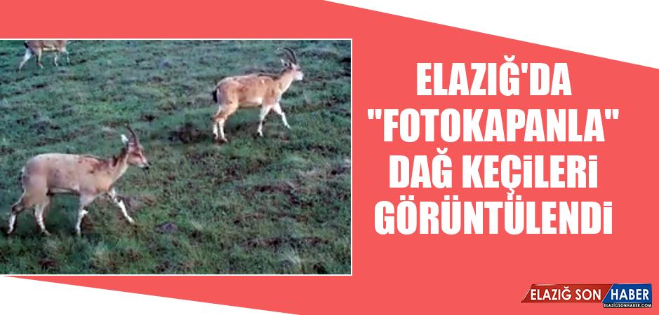 """Elazığ'da """"Fotokapanla"""" Dağ Keçileri Görüntülendi"""