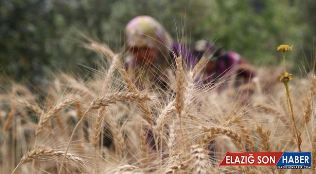 Antalya'da yılın ilk buğday hasadı