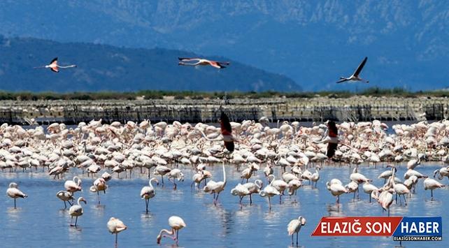 İzmir Kuş Cenneti'nde 20 bin flamingo için kuluçka zamanı