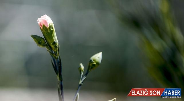 Türkiye'nin ilk tescilli karanfili dünya pazarına açılıyor