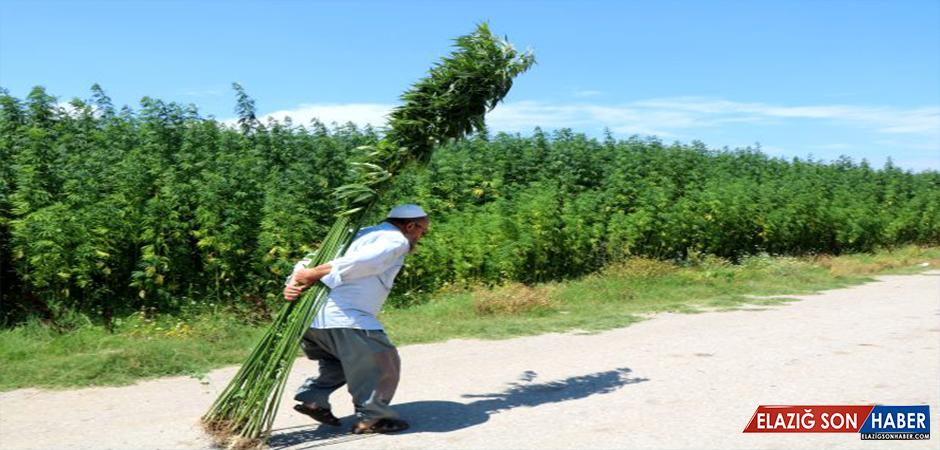Vezirköprü'de ekilen kenevirler 5 metreye ulaştı! 10 ton tohum bekleniyor