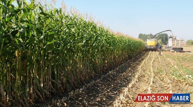 Silajlık mısır çiftçinin yeni gelir kaynağı oldu
