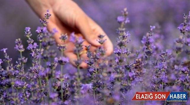 Tıbbi aromatik bitkilerde hedef 5 milyar dolar