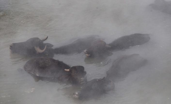 Bitlis'te dondurucu soğukta ahırdan çıkamayan mandalar kaplıcada yıkanıyor