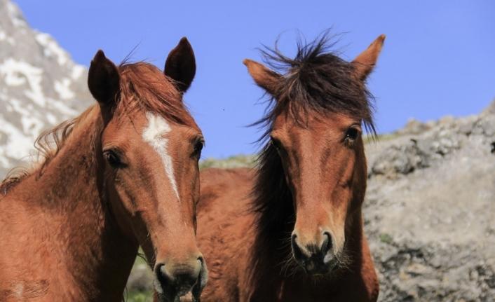 Munzur Dağları doğaya salınan atlarla renklendi