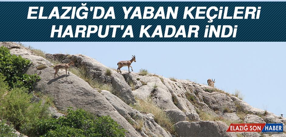 Elazığ'da Yaban Keçileri, Harput'a Kadar İndi
