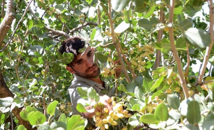 Bitlis'te fıstık aşısı yapılan menengiç ağaçlarından 300 ton rekolte bekleniyor