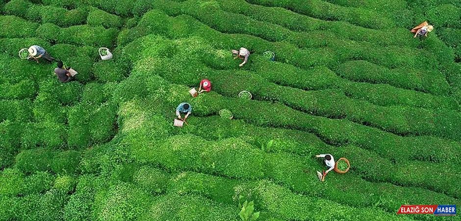ÇAYKUR, 2020'de 752 Bin Ton Yaş Çay Aldı