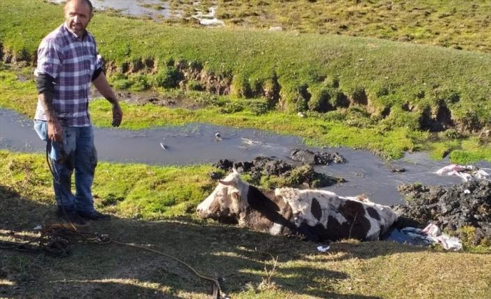 Kars'ta bataklığa saplanan inek iş makinesiyle kurtarıldı