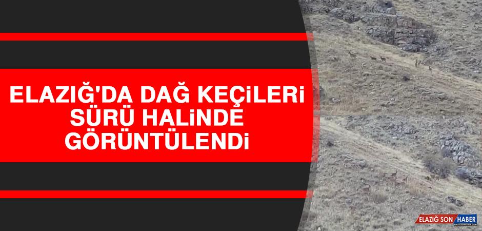 Elazığ'da Dağ Keçileri Sürü Halinde Görüntülendi