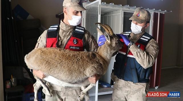 Jandarma vurulan yavru dağ keçisini hayata döndürdü