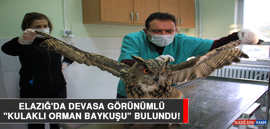 """Elazığ'da Devasa Görünümlü """"Kulaklı Orman Baykuşu"""" Bulundu"""