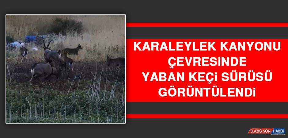 Karaleylek Kanyonu Çevresinde Yaban Keçi Sürüsü Görüntülendi