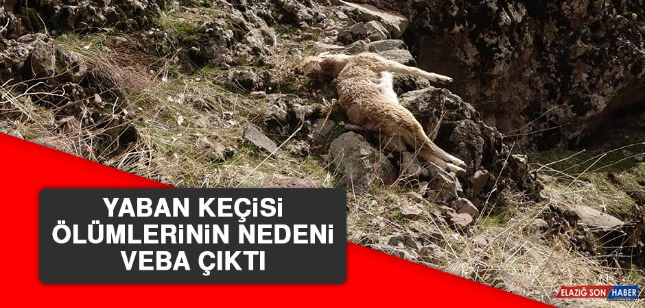 Yaban Keçisi Ölümlerinin Nedeni Veba Çıktı