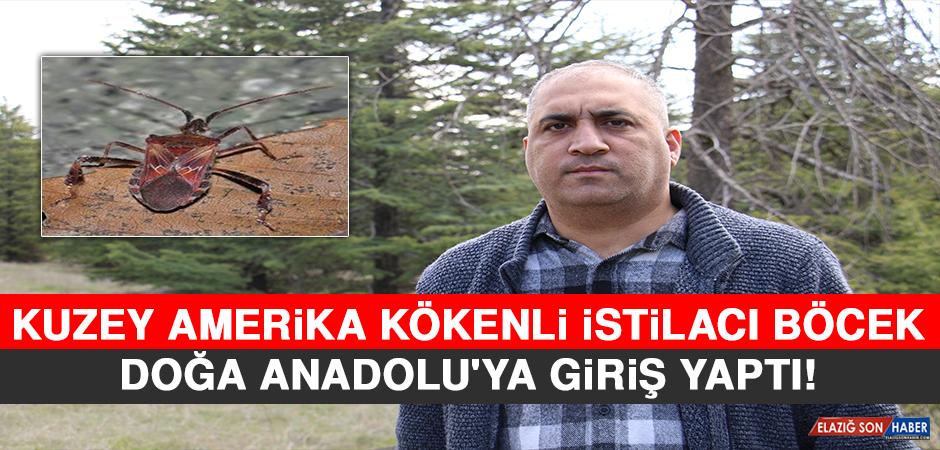 Kuzey Amerika Kökenli İstilacı Böcek, Doğa Anadolu'ya Giriş Yaptı