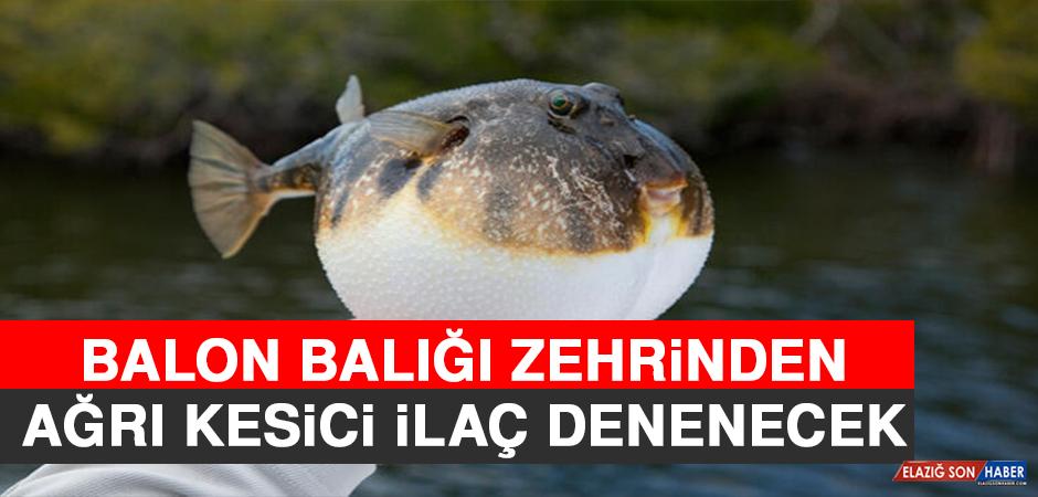 Balon Balığı Zehrinden Ağrı Kesici İlaç Denenecek