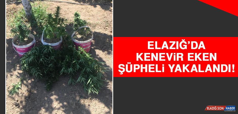 Elazığ'da Kenevir Eken Şüpheli Yakalandı