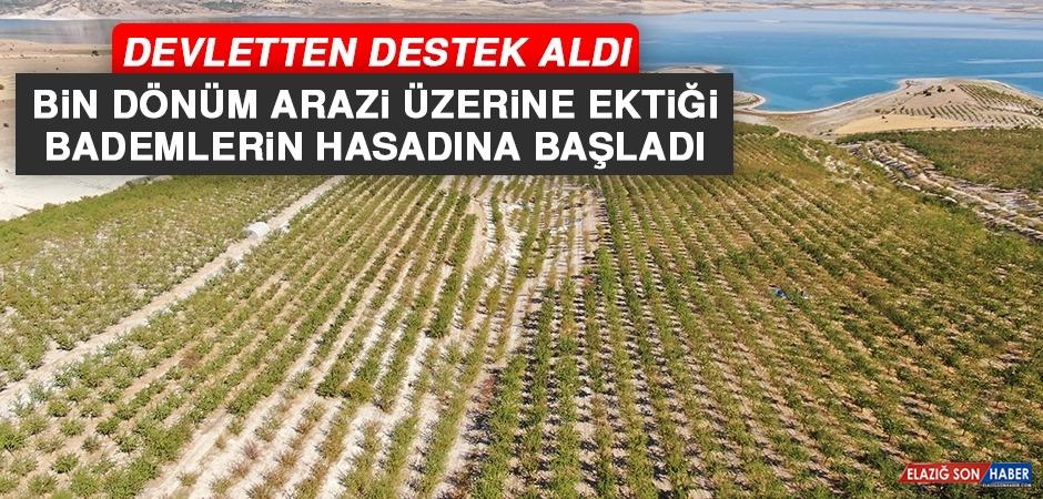 Elazığ'ın Ağın İlçesinde Başlayan Badem Hasadı 45 Kişiye Ekmek Kapısı Oldu