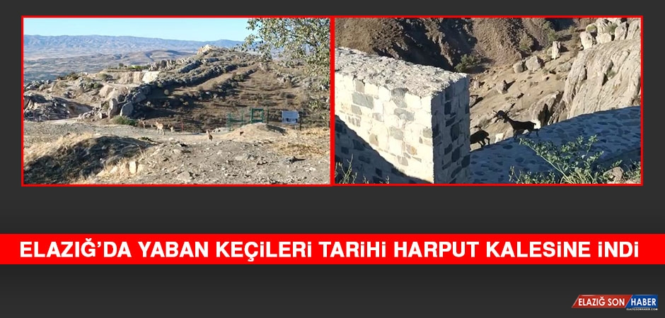 Elazığ'da Yaban Keçileri Tarihi Harput Kalesine İndi