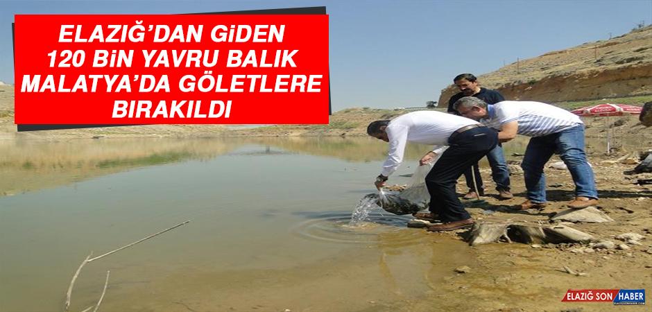 Elazığ'dan Giden 120 Bin Yavru Balık Malatya'da Göletlere Bırakıldı