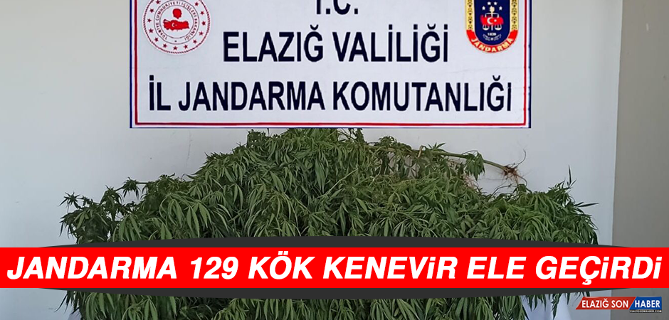 Jandarma Ekipleri 129 Kök Kenevir Ele Geçirdi