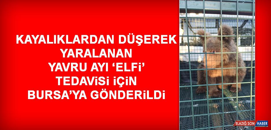 Kayalıklardan Düşerek Yaralanan Yavru Ayı 'Elfi' Tedavisi İçin Bursa'ya Gönderildi