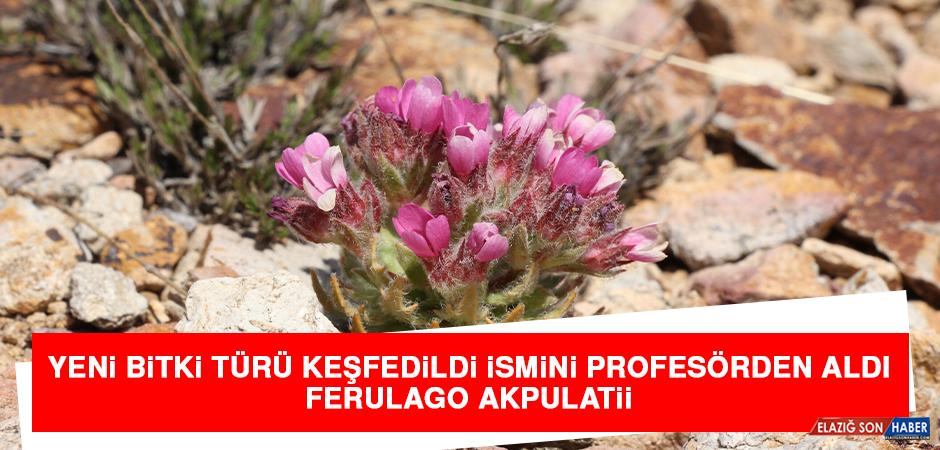 Yeni Bitki Türü Keşfedildi İsmini Profesörden Aldı: Ferulago Akpulatii