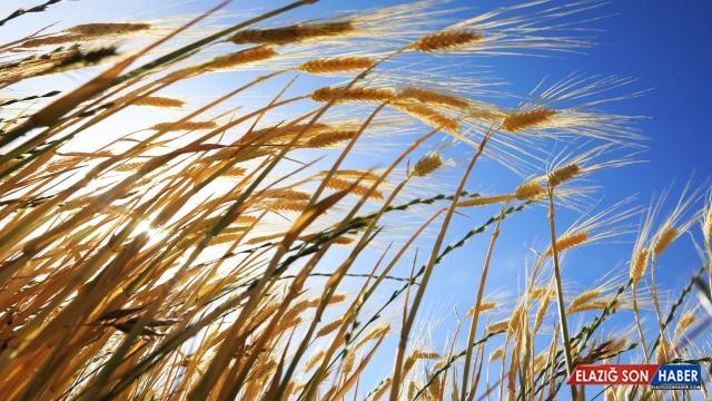 Biyoteknoloji ile tahıl ürünlerinin çeşitleri artıyor