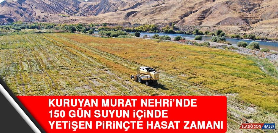 Kuruyan Murat Nehri'nde 150 Gün Suyun İçinde Yetişen Pirinçte Hasat Zamanı