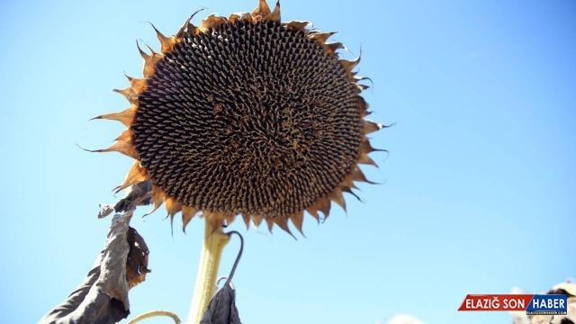 Sivas'ta ayçiçeği üretim alanı arttı