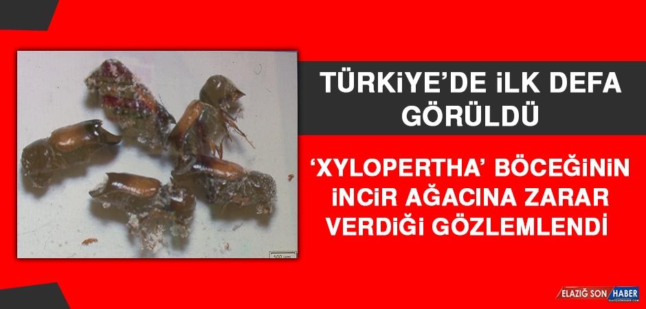 'Xylopertha' Böceğinin İncir Ağacına Zarar Verdiği Gözlemlendi