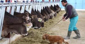 Almanya'dan Getirdiği 65 İnekle Çiftlik Kurdu