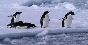 Antartika'da Yeni Penguen Sürüsü Keşfedildi