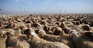 300 Koyun Projesi Yarın Şırnak'ta Başlıyor