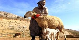 Süt Kuzularının Annelerine Kavuşma Anı, Görenleri Duygulandırıyor