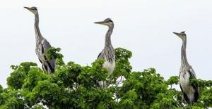 Gri Balıkçıl Kuşları, Iğdır'ı Sevdi