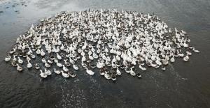 Kars Kazı Sıcak Havalarda Çıldır Gölü'nde Serinliyor